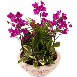 미니호접 (공기정화식물)