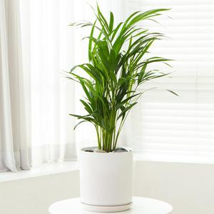 아레카야자(공기정화식물)